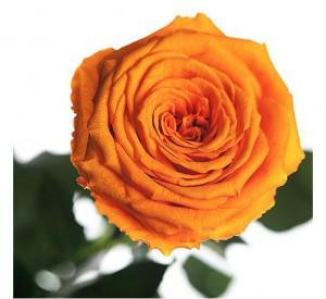 Подарок Долгосвежая роза Оранжевый Цитрин в подарочной упаковке