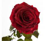 Подарок Долгосвежая роза Багровый Гранат в подарочной упаковке