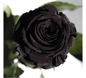 Подарок Долгосвежая роза Черный Бриллиант в подарочной упаковке