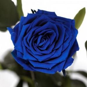 Подарок Долгосвежая роза Синий Сапфир в подарочной упаковке