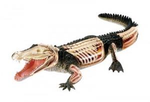 Объемная анатомическая модель 'Крокодил'