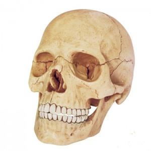 Объемная анатомическая модель 'Череп человека'