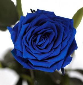 Подарок Долгосвежая роза 'Синий сапфир' (5 карат на коротком стебле)