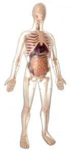 Анатомическая модель скелета женщины 'Будущая мать'