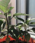 фото Набір 6 кольорових олівців Brinjal 'Ecostick': чарівні олівці з насінням рослин #9