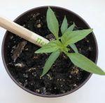 фото Набір 6 кольорових олівців Brinjal 'Ecostick': чарівні олівці з насінням рослин #8
