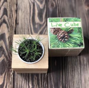 фото Набір для вирощування Brinjal 'Live cube' сосна звичайна #6
