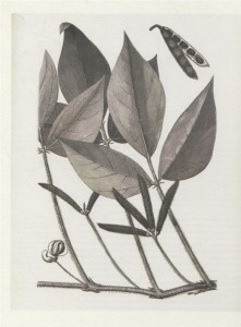 фото страниц Выдающиеся растения, которые изменили нашу жизнь #4